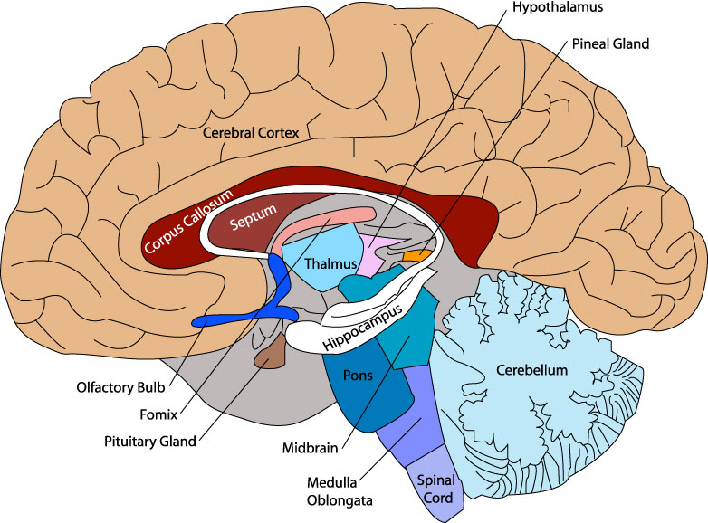 brain diagram - unmasa dalha, Human Body
